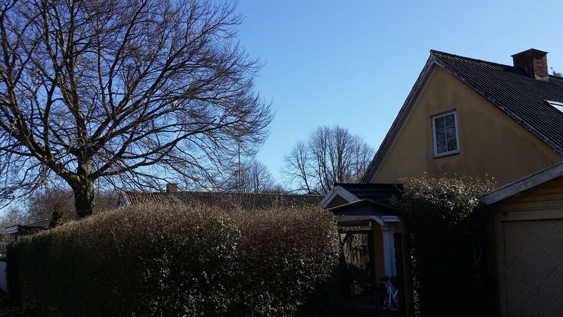 Bøgetræet på Astridsvej - Jennys træ